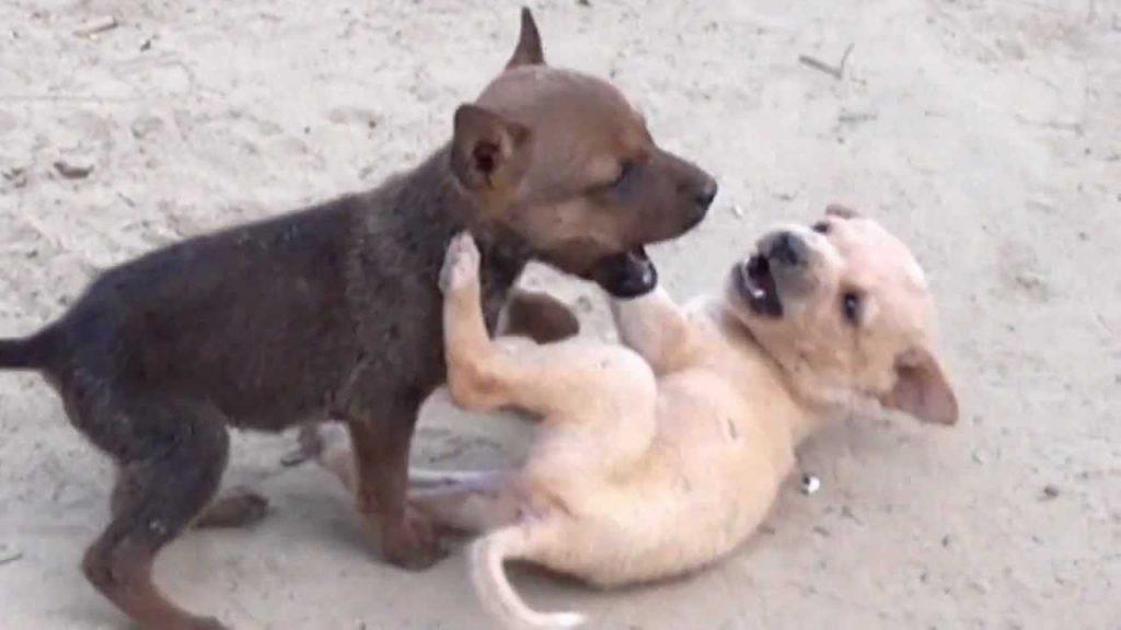 puppies fighting