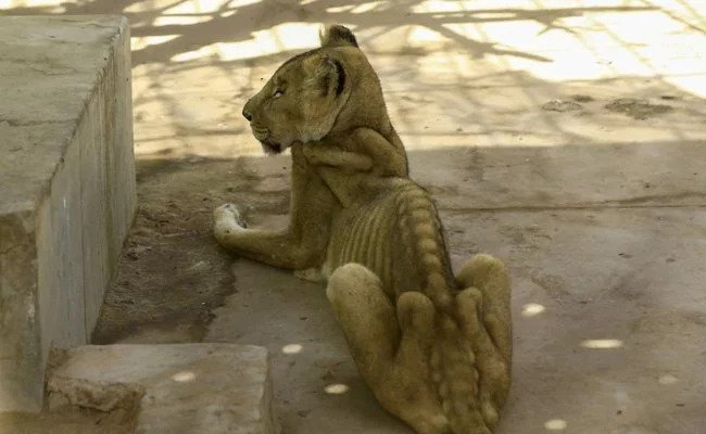 Shocking Photos Show Starving Lions in A Sudan Zoo, Internet Pleads For Help