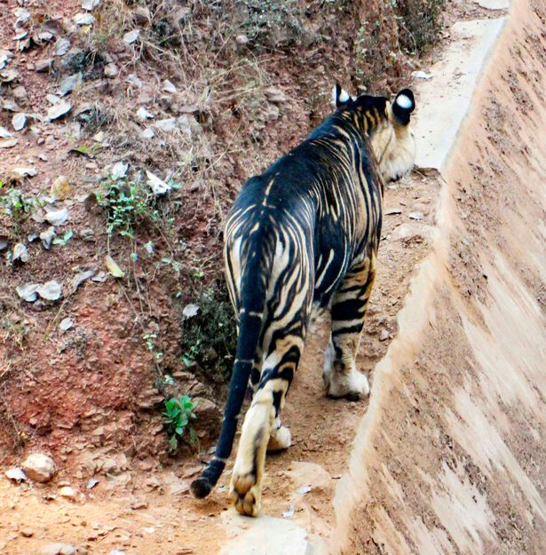 Extremely Rare Black Tiger Spotted In India, Lucky Photographer Captured  Pictures – AsViral