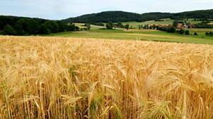 Paisaje agrícola mostrando un cultivo de trigo.