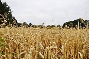 plantacion de cereales