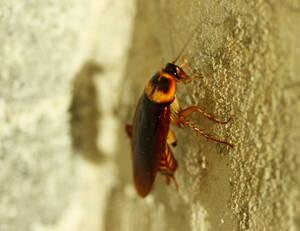 Una cucaracha de día es posible motivo de fumigación.