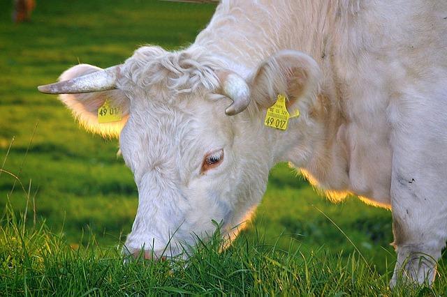 cow in a livestock farm