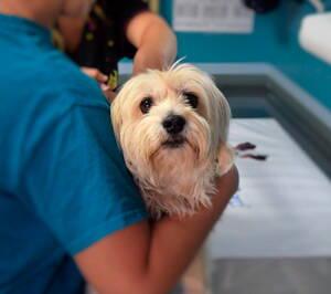 Perrito atendido por médicos veterinarios
