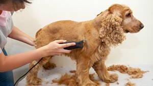 peluquero cortandole el pelo a un perro