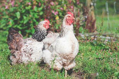 chickens in a farm