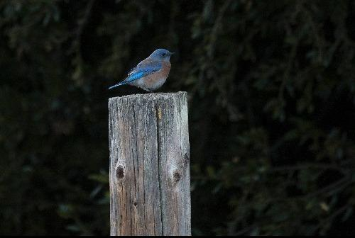 Western bluebird ralph