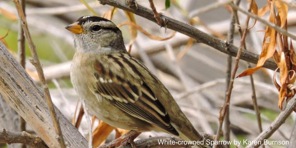 Ulistacwhitecsparrow