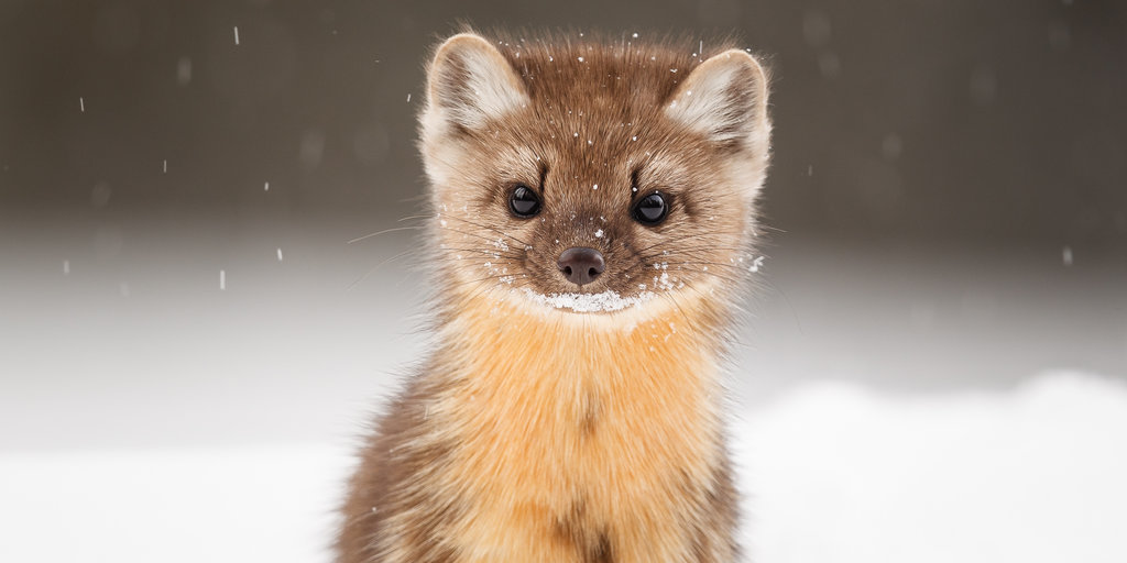 Young american marten 2018 baby honorable mention 776486nd tim auer