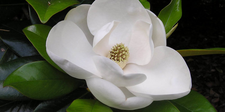 Southern magnolia flower wallpapers 01