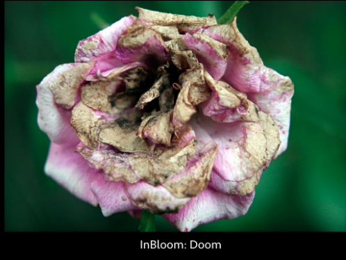 Withering flower. Text at bottom: InBloom: Doom
