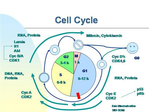 The cell cycle lessons tes teach.
