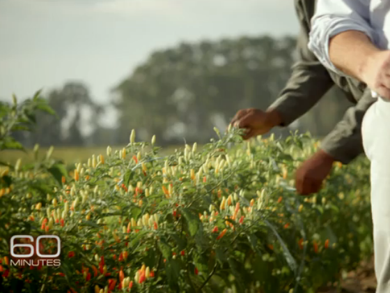 picking-peppers-by-hand-tabasco