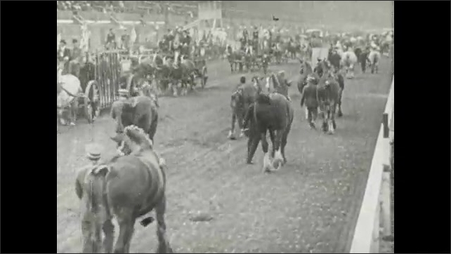 1910s: UNITED STATES: horses at show. Horses on display at exposition. Man walks with horse.