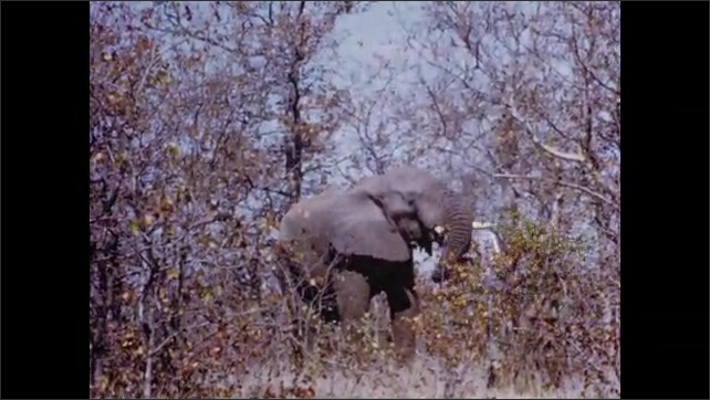 1950s: Buffalo stand in field. Elephant eats from bush.