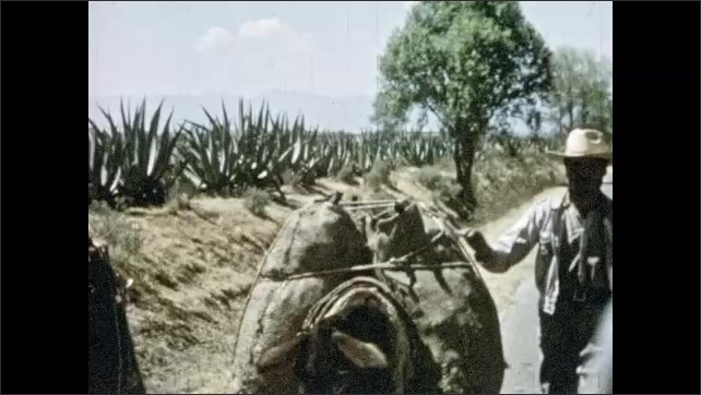 Mexico 1950s: Man walks down road with two donkeys loaded with packs. Man harvests agave plant.