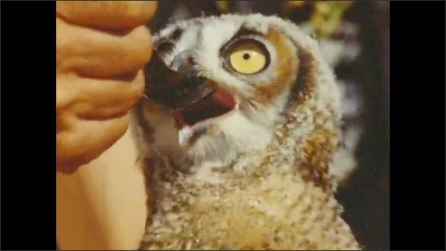 1950s: Owl drinks liquid off spoon.