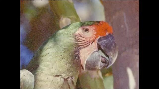 1950s: Parrots chew on plants.