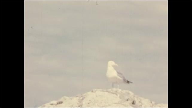 1940's: Seagulls perch, fly away near Pemaquid Point Light Station.