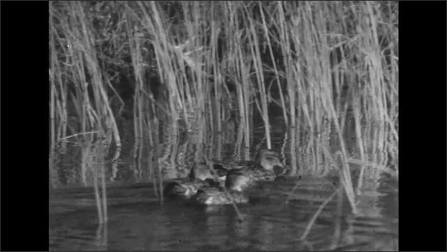 UNITED STATES 1950s: Group of ducks on water.