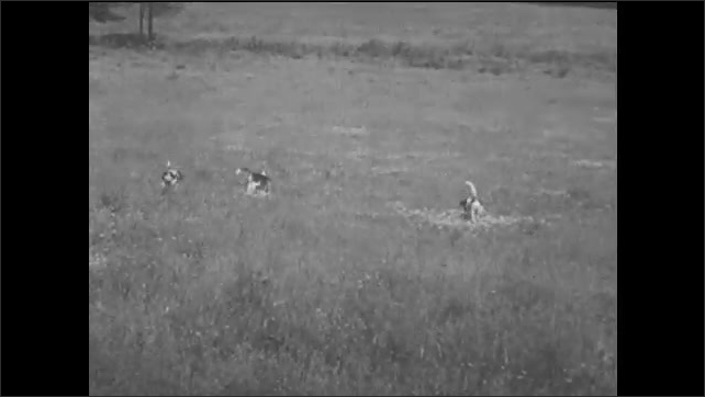 1940s: UNITED STATES: puppies play chase through back yard. Dogs run through field. Dogs in meadow. Dogs jump over ditch