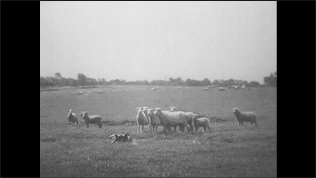 1940s: UNITED STATES: puppies stand by stream. Puppy runs through field. Sheep in field. Puppies run past sheep in field.