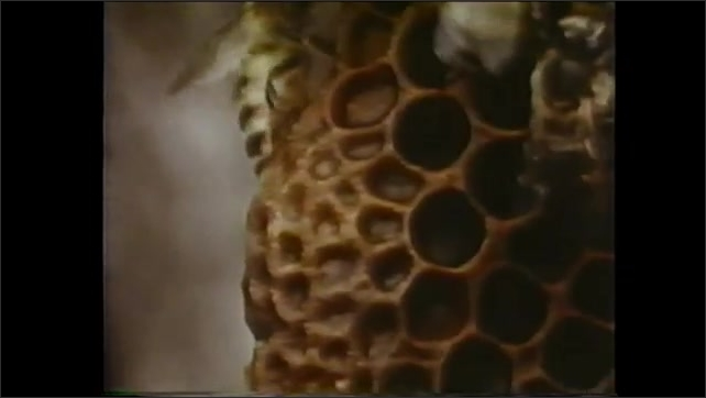 1980s: Bees swarm near hive. Bees crawling on honeycomb. Hands open box of dead bees. Bee picked up with tweezers.