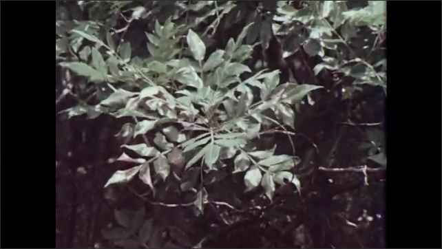1970s: Damaged leaves of white ash, hickory and dwarf sumac trees. Damaged leave of blackberry and farkleberry plants.