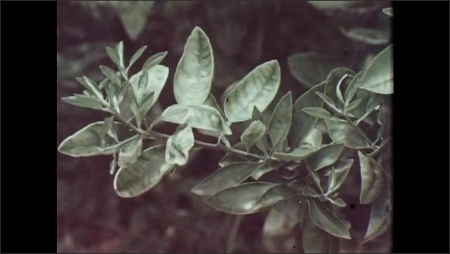 1970s: Damaged citrus leaves rustle in wind. Striated shades of green on citrus leaves.