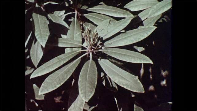 1970s: Marginal chlorosis damage on sugar maple and rhododendron leaves. Marginal chlorosis damage on cottonwood leaves.