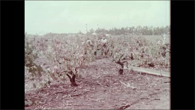 1970s: Damaged leaves of grape vine. Men pick grapes from damaged plants in vineyard. Stippled leaves of okra plants.