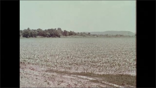 1970s: Rows of corn plants in large crop field. Stand of dead trees and stunted corn plants in field.