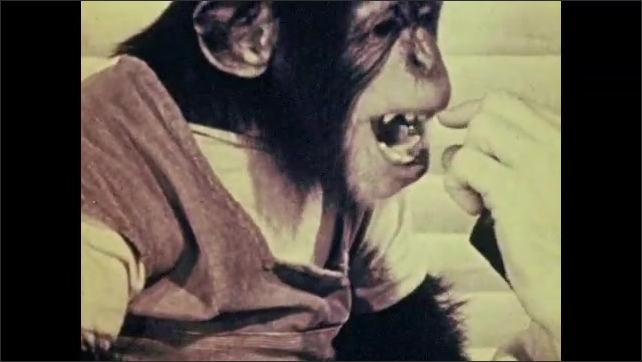 1950s: Chimpanzee wears dress, sits on table with man and woman, drinks from cup, playfully bites at woman's finger, appears to talk. Man holds microphone, offers treat reward.