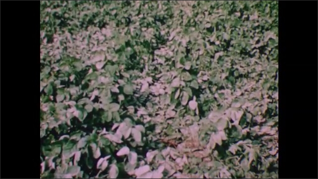 1950s: Overhead view of tobacco field. View of soybean plants. Man plowing field.