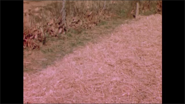 1950s: View of plant bed covered in mulch.