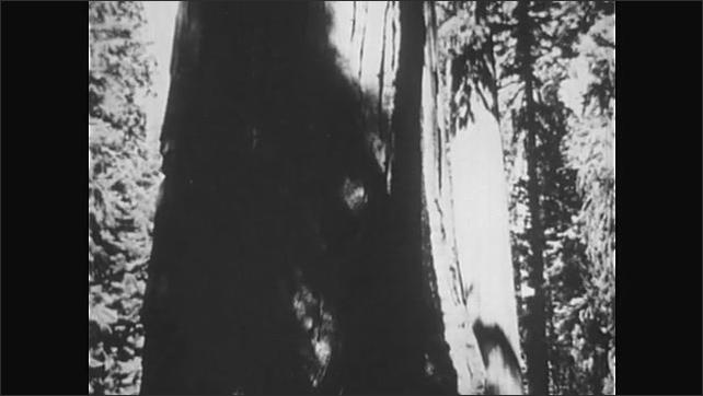 1950s: Giant sequoia trees. Man walks near base of tree.