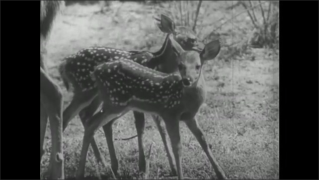 UNITED STATES 1940s: Baby deer suckles from mother