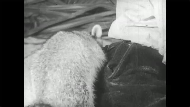 UNITED STATES 1940s: Raccoon pickpocketing