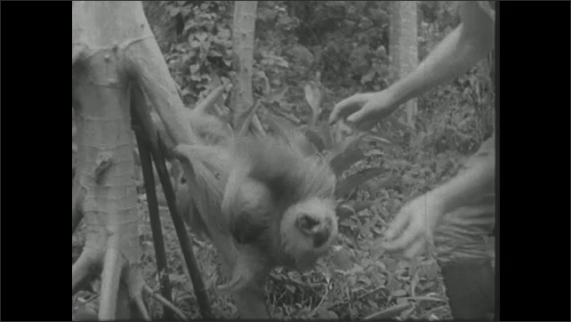 UNITED STATES 1940s: Man bothers sloth