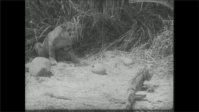 UNITED STATES 1940s: Mountain lion faces iguana