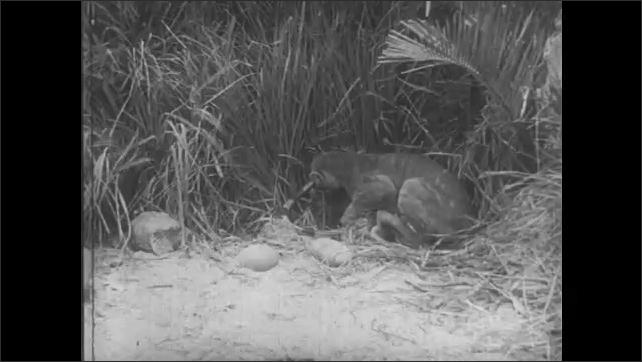 UNITED STATES 1940s: Mountain lion successfully attacks iguana