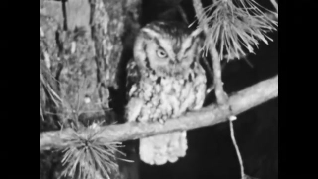1950s: Baby squirrels in nest. Owl perched on branch. Owl on branch, flies away.