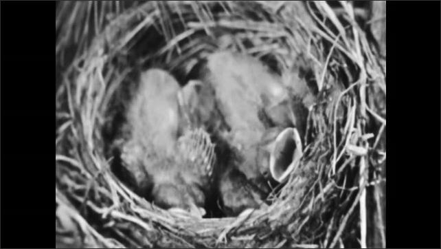 1950s: Bird looks in hole in tree, flies away. Baby birds in nest. Baby ducks hatching.
