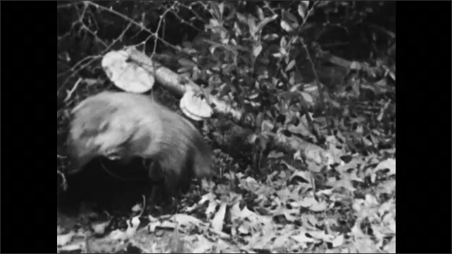 1950s: Woodchuck eating piece of wood. Fox walks past tree. Woodchuck climbs into burrow. Woodchuck eating. Rabbit with babies, rabbit exits nest.