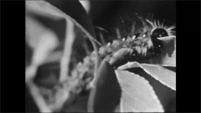 1950s: Caterpillar climbs up tree. Close up, caterpillar eating leaf. Baby birds in nest.