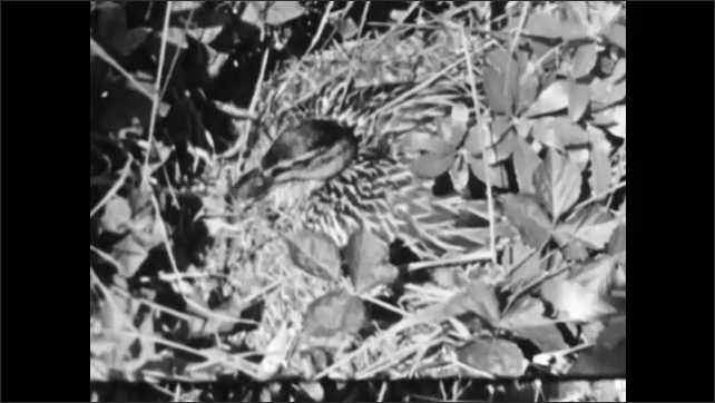 1950s: Moth crawling from cocoon. Bird in nest. Duck sitting on nest. Duck in water with babies.