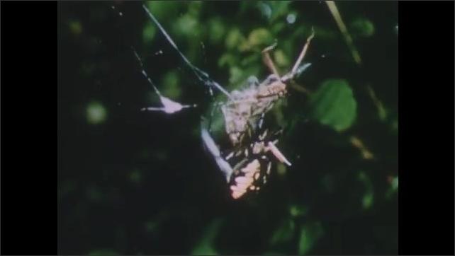 1950s: UNITED STATES: grasshopper leaps into web. Spider wraps grasshopper in web. Grasshopper caught in web.