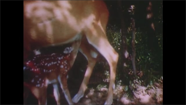 1950s: UNITED STATES: fawn feeds from mother in woods. Baby deer drinks milk from mother. Deer eat leaves from tree . Boys walk in woods