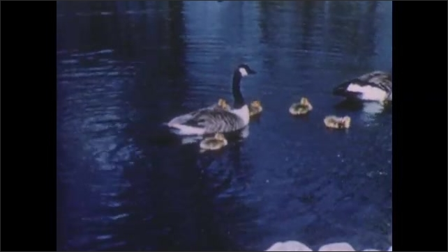1950s: UNITED STATES: wild geese parents and goslings on water. Boys walk by river. Boys climb over tree.