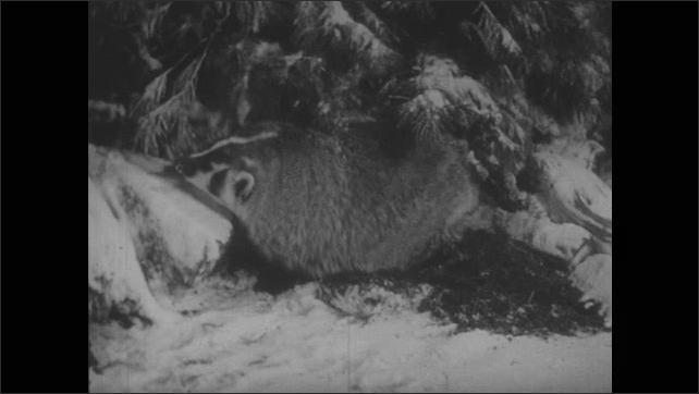 1940s: Chipmunk sleeps in nest. Badger digs at hole at base of snowy tree. Fox runs around snowy ground. Bird flies around snowy tree. Rabbit sits on snowy ground.